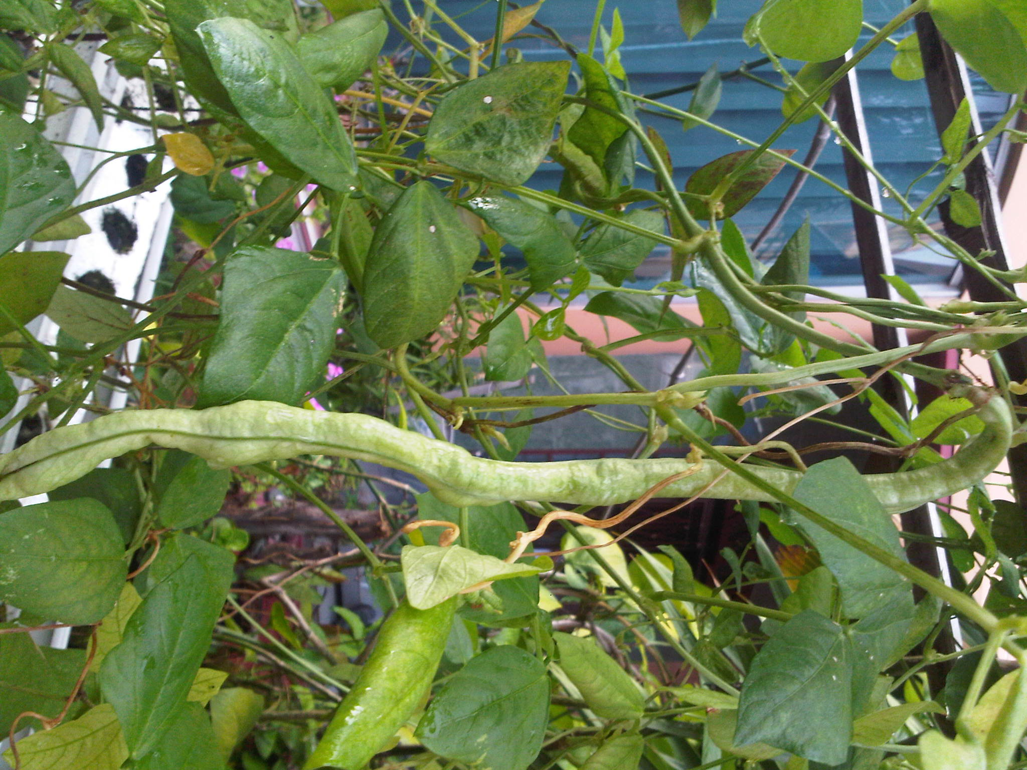Kacang Panjang Hidroponik Telah Siap Utk Dipanen Rasanya Manis Dan